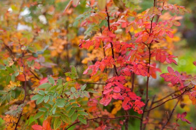Φύλλα φθινοπώρου των τριαντάφυλλων θάμνων στοκ εικόνες