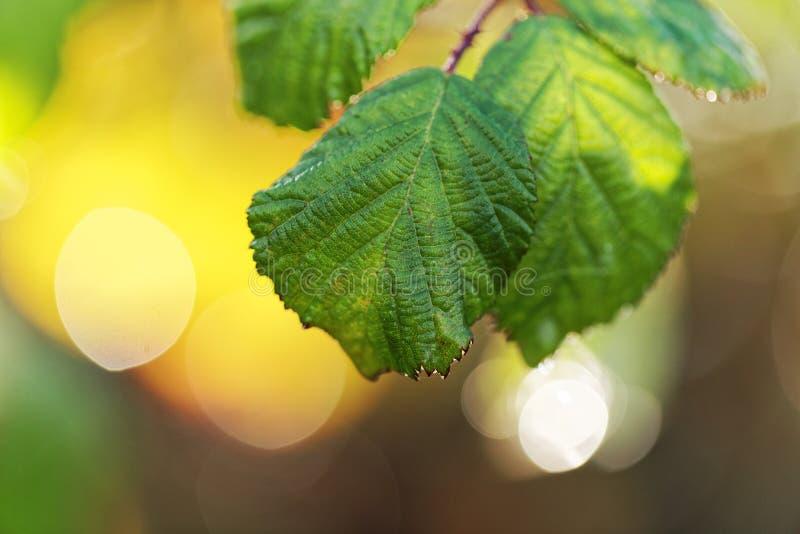 Φύλλα φουντουκιών στοκ εικόνα