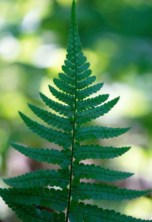 Φύλλα φτερών σε ένα πράσινο υπόβαθρο (lat Phyta Polypodià ³) Vertic στοκ εικόνα