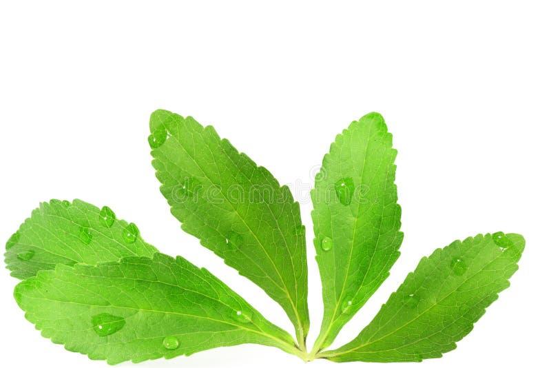 Φύλλα χορταριών υποκατάστατων ζάχαρης Stevia στο καθαρό άσπρο υπόβαθρο στοκ φωτογραφία με δικαίωμα ελεύθερης χρήσης