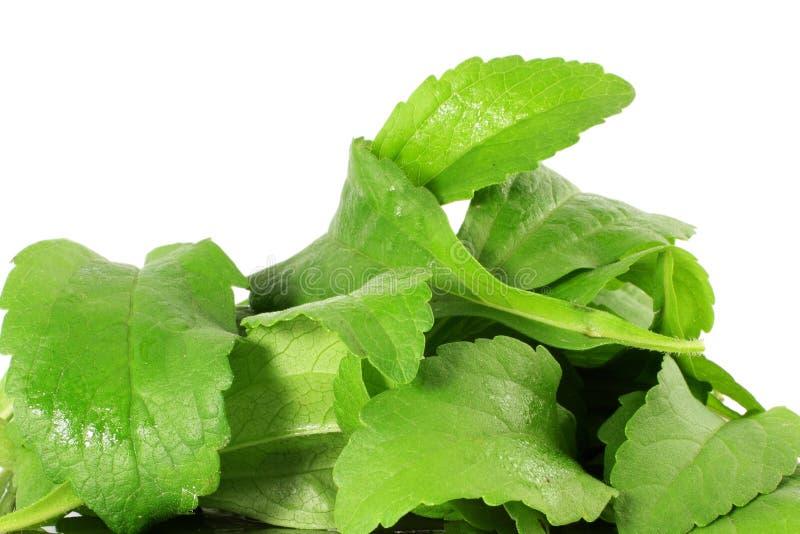 Φύλλα χορταριών υποκατάστατων ζάχαρης Stevia στο καθαρό άσπρο υπόβαθρο στοκ φωτογραφίες