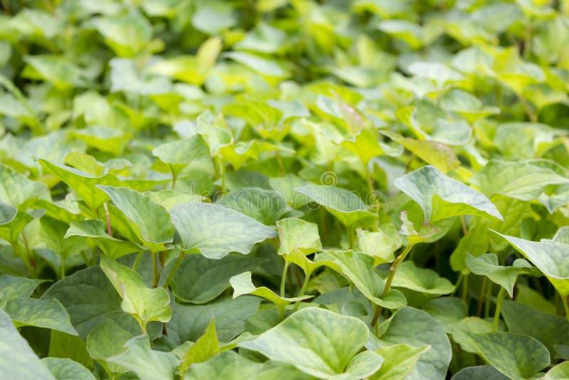 Φύλλα Jicama στοκ φωτογραφία