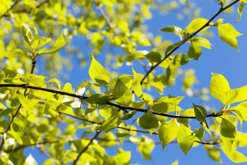 Φύλλα Linden, άνοιξη στοκ εικόνες με δικαίωμα ελεύθερης χρήσης