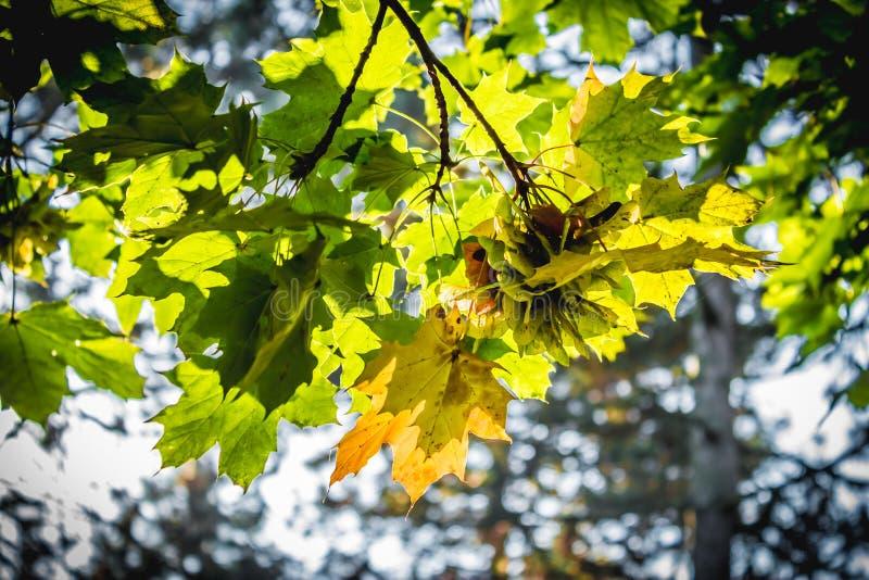 Φύλλα Mapple στα φθινοπωρινά χρώματα στοκ εικόνες