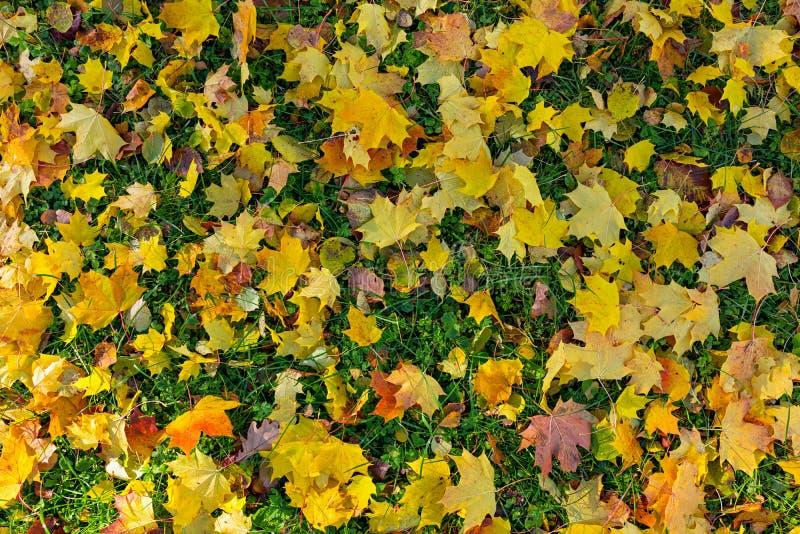 Φύλλα Mapple στο όμορφο πάρκο φθινοπώρου στοκ φωτογραφία