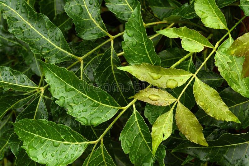 Φύλλα Neem με την πτώση νερού στοκ φωτογραφία με δικαίωμα ελεύθερης χρήσης