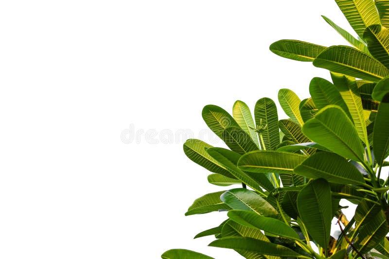 Φύλλα Plumeria που απομονώνονται στο άσπρο υπόβαθρο, Frangipani στοκ φωτογραφία