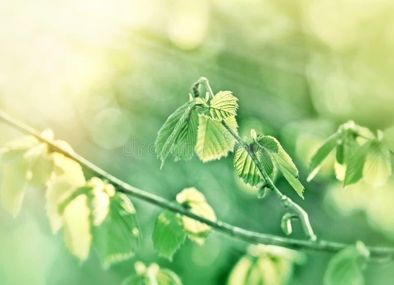Φύλλο άνοιξη που φωτίζεται με τις ακτίνες ήλιων - νέα ζωή στοκ φωτογραφίες με δικαίωμα ελεύθερης χρήσης