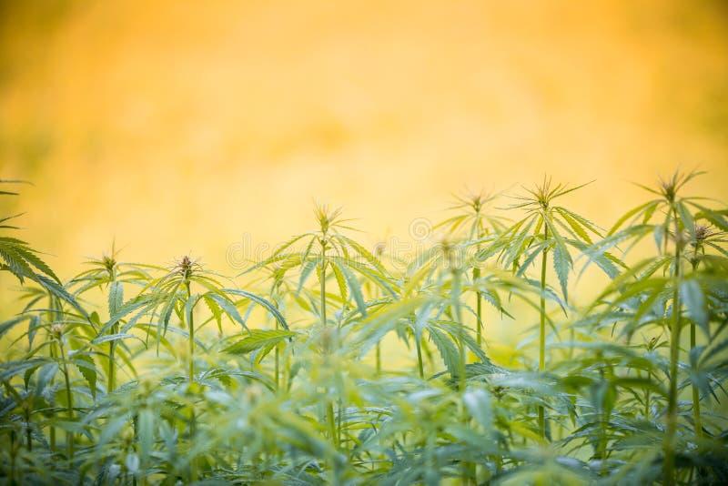 Φύλλο καννάβεων, φυτό μαριχουάνα στοκ φωτογραφία με δικαίωμα ελεύθερης χρήσης