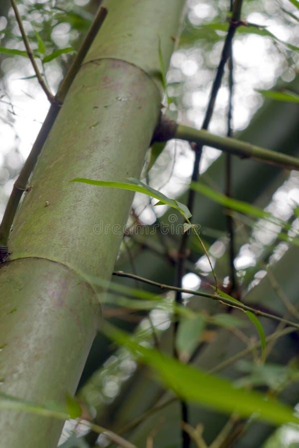 Φύλλο μπαμπού στο κινεζικό δάσος στοκ φωτογραφία