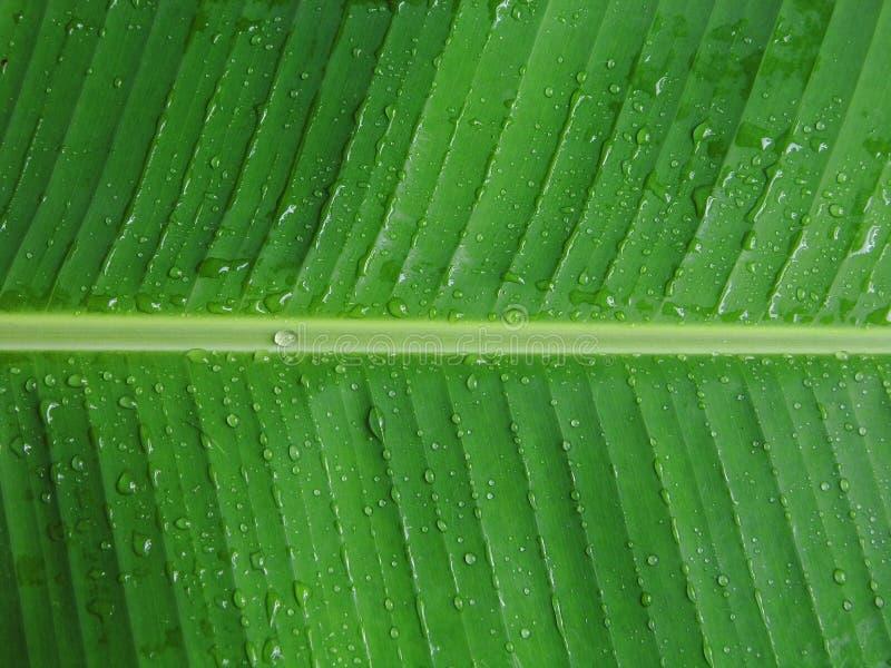 Φύλλο μπανανών με τη δροσιά στοκ φωτογραφία με δικαίωμα ελεύθερης χρήσης