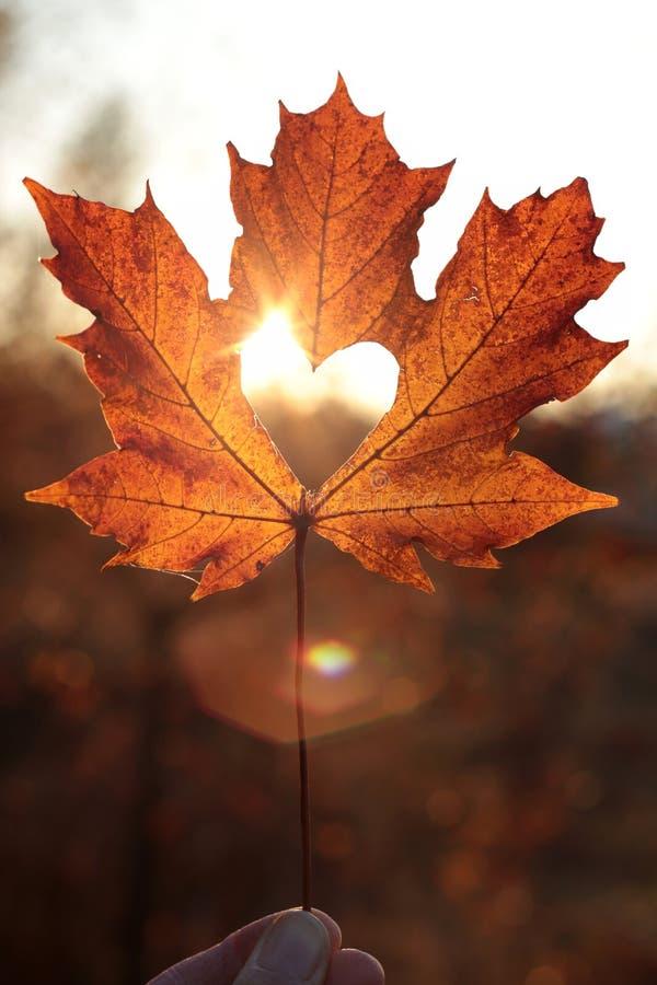 Φύλλο σφενδάμου με τη διακοπή καρδιών στο ηλιοβασίλεμα στοκ φωτογραφία