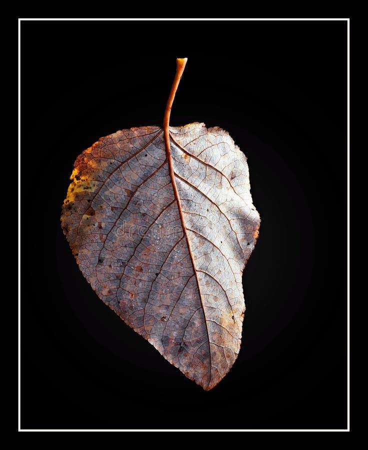 Φύλλο Cottonwood στοκ φωτογραφία με δικαίωμα ελεύθερης χρήσης