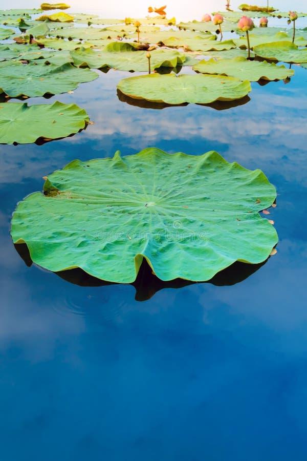 Φύλλο Lotus στη λίμνη στοκ εικόνες
