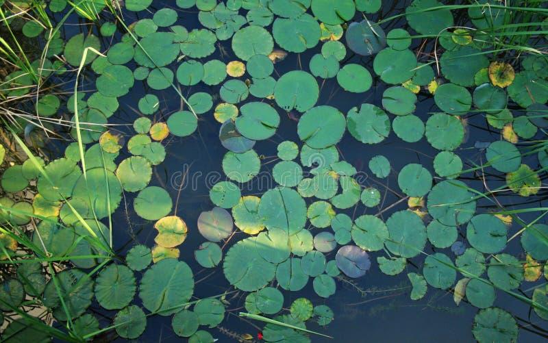 Φύλλο Lotus στοκ εικόνες με δικαίωμα ελεύθερης χρήσης