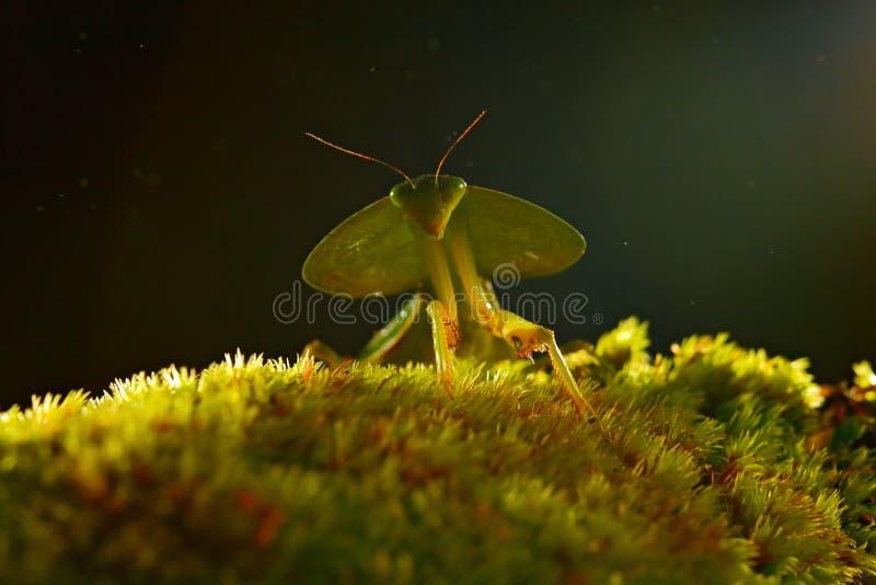 Φύλλο Mantid, rhombicollis Choeradodis, έντομο από τη Κόστα Ρίκα Όμορφο βράδυ backlight με το άγριο ζώο στοκ εικόνα με δικαίωμα ελεύθερης χρήσης