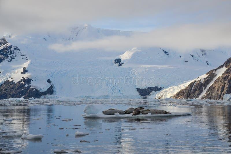 Φώκιες ξαπλωμένες στον πάγο μπροστά από τα σύννεφα στοκ εικόνες
