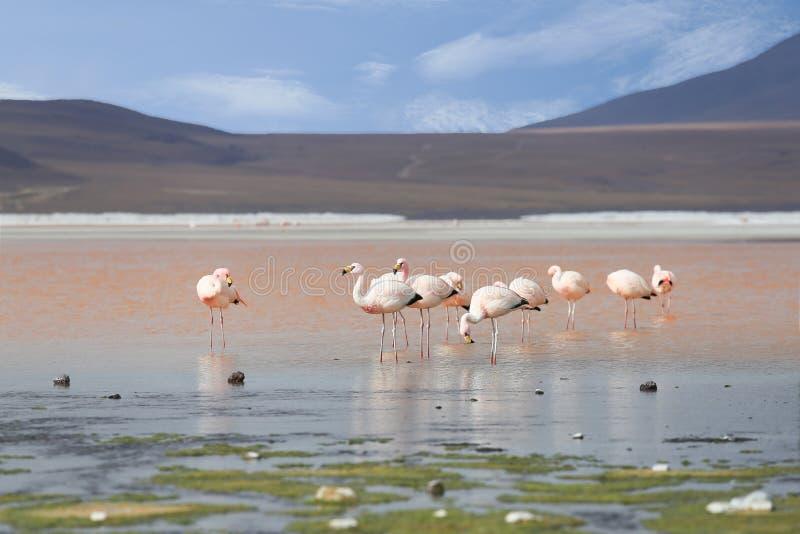 Φλαμίγκο στην κόκκινη λίμνη, αλατισμένη λίμνη, Βολιβία στοκ φωτογραφίες