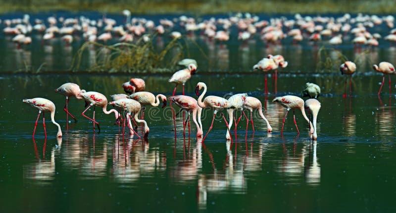 Φλαμίγκο hock λιμνών στοκ εικόνες