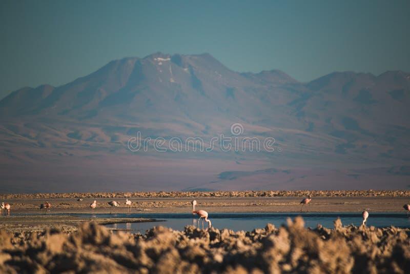 Φλαμίγκο Salar de Atacama στοκ εικόνες με δικαίωμα ελεύθερης χρήσης