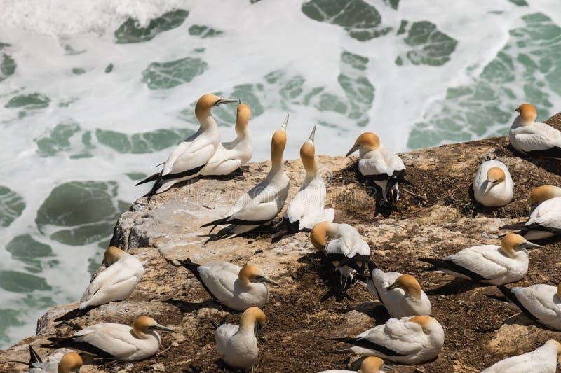 Φλερτάρισμα gannets στους απότομους βράχους στοκ φωτογραφία με δικαίωμα ελεύθερης χρήσης