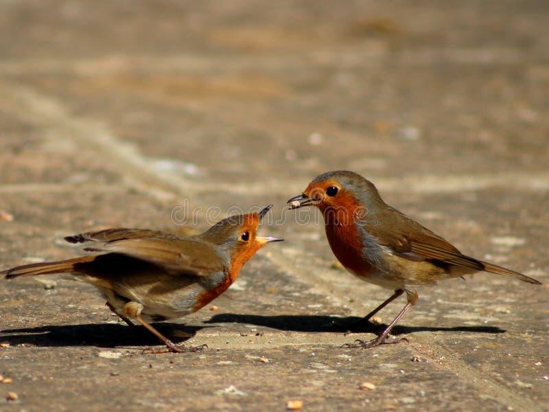 Φλερτάρισμα Robins στοκ φωτογραφία