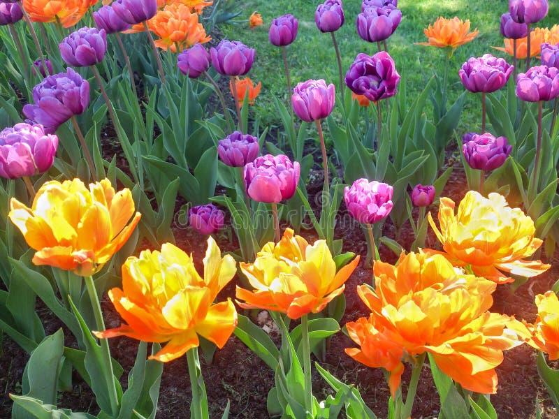Φλογερές πορτοκαλιές και πορφυρές τουλίπες στοκ εικόνα