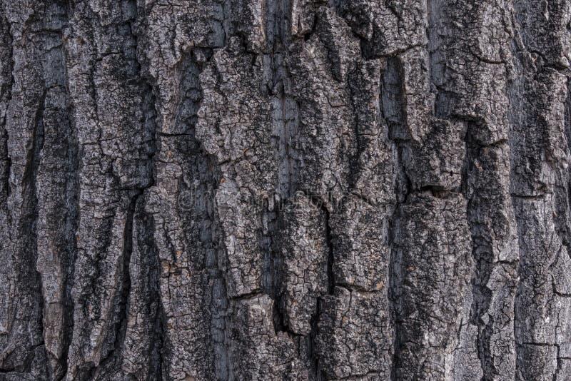 Download Φλοιός 1 δέντρων λευκών Cottonwood Στοκ Εικόνες - εικόνα από σύσταση, τραχύς: 62708084