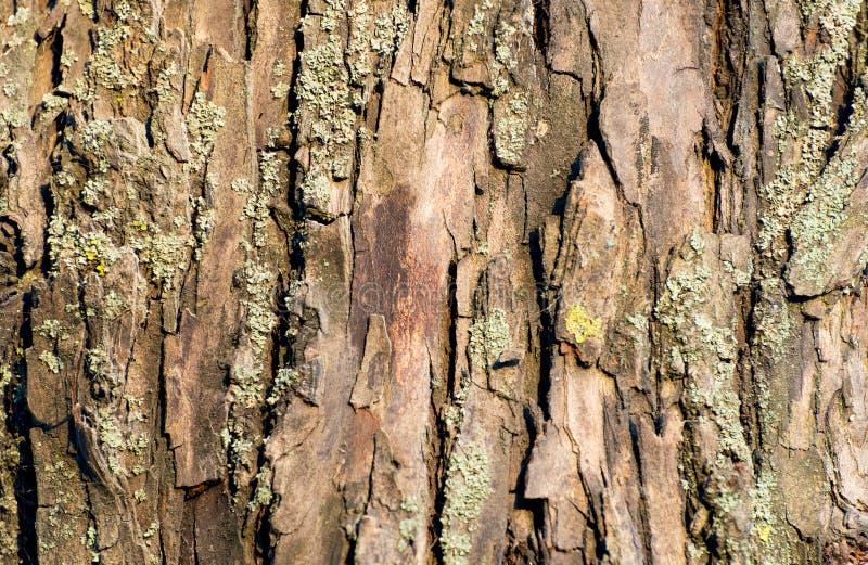 Φλοιός δέντρων ιτιών στοκ εικόνες με δικαίωμα ελεύθερης χρήσης