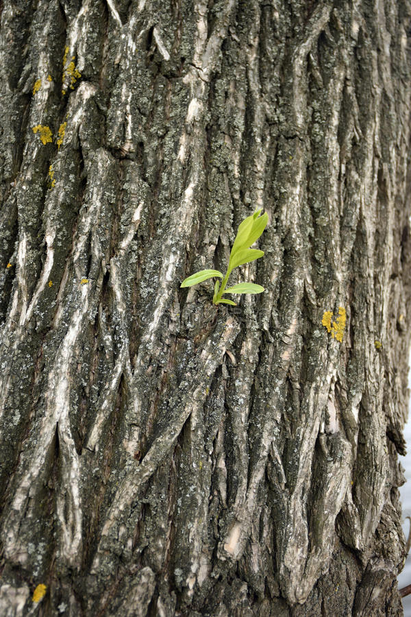 Φλοιός δέντρων ιτιών στοκ εικόνα