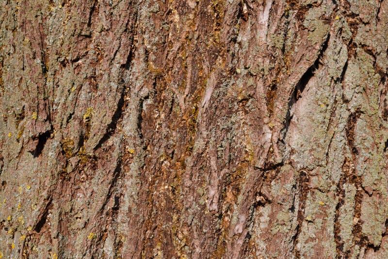 Φλοιός δέντρων μιας ιτιάς στοκ εικόνες
