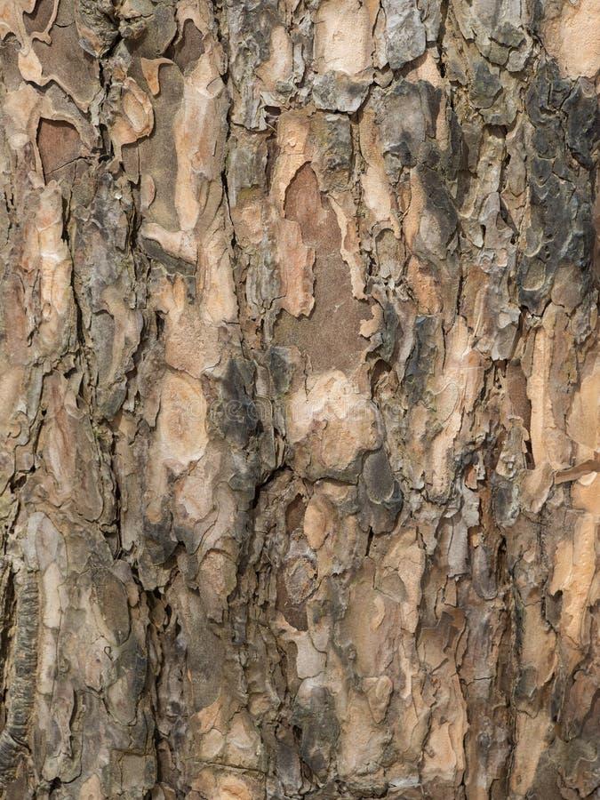 Φλοιός της ξύλινης σύστασης στοκ εικόνα