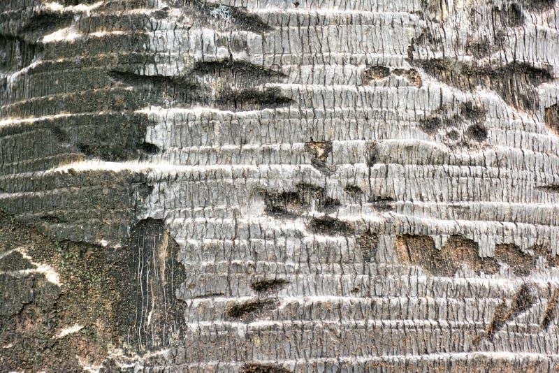 Φλοιός του υποβάθρου σύστασης φοινίκων στοκ φωτογραφία με δικαίωμα ελεύθερης χρήσης