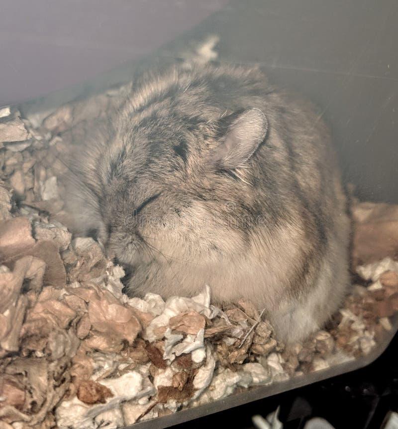 Χάμστερ ύπνου στοκ φωτογραφία με δικαίωμα ελεύθερης χρήσης