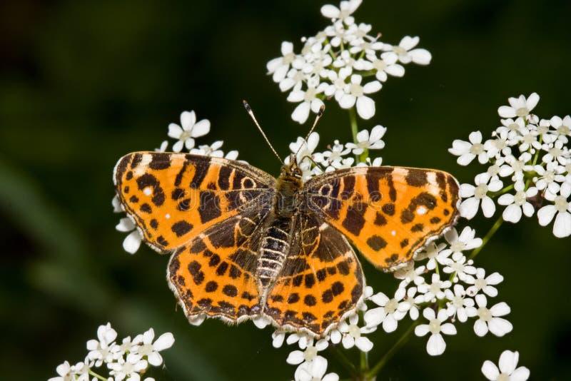 χάρτης levana πεταλούδων araschnia στοκ εικόνες με δικαίωμα ελεύθερης χρήσης