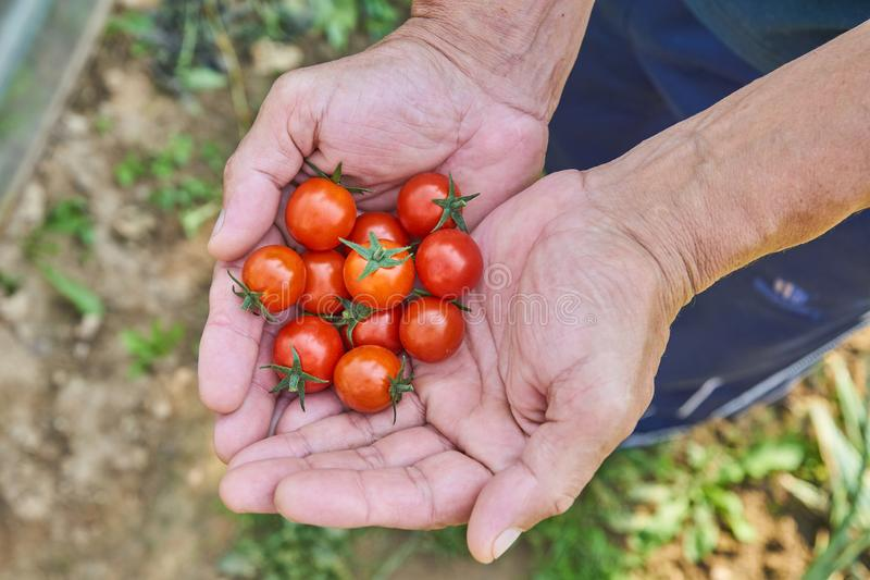 Χέρια αρσενικού που συγκομίζουν τις φρέσκες ντομάτες στον κήπο σε μια ηλιόλουστη ημέρα Farmer που επιλέγει τις οργανικές ντομάτες στοκ εικόνα με δικαίωμα ελεύθερης χρήσης