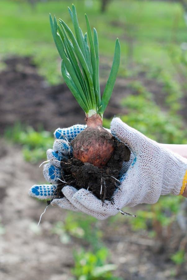 Χέρια ατόμων με το πράσινο κρεμμύδι Εργασίες κήπων στοκ φωτογραφία με δικαίωμα ελεύθερης χρήσης