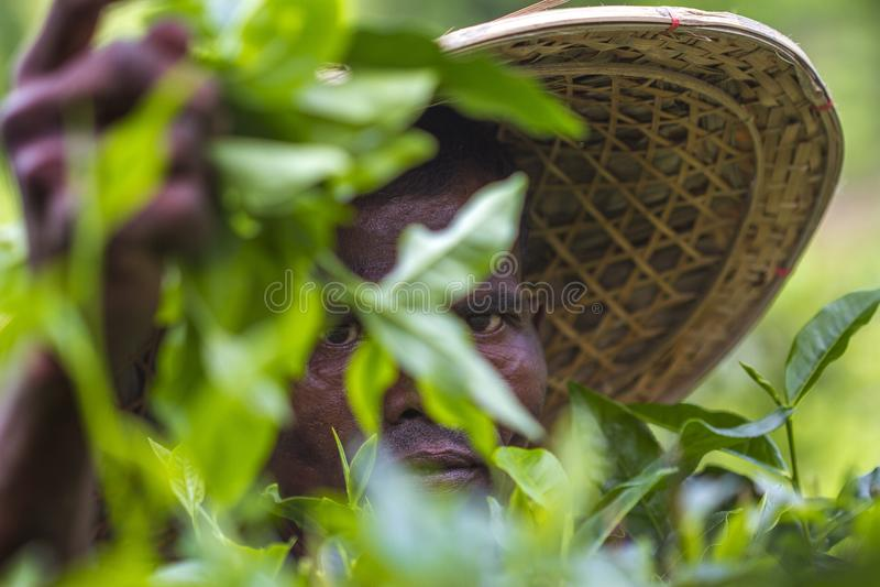 Χέρια εξειδικευμένων εργατών που επιλέγουν τα πράσινα ακατέργαστα φύλλα τσαγιού σε Moulovibazar, Μπανγκλαντές στοκ φωτογραφίες