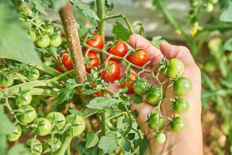 Χέρια θηλυκού που συγκομίζουν τις φρέσκες ντομάτες κερασιών στον κήπο σε μια ηλιόλουστη ημέρα Farmer που επιλέγει τις οργανικές ν στοκ φωτογραφία με δικαίωμα ελεύθερης χρήσης