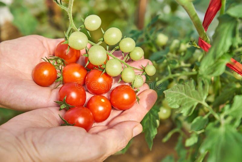 Χέρια θηλυκού που συγκομίζουν τις φρέσκες ντομάτες στον κήπο σε μια ηλιόλουστη ημέρα Farmer που επιλέγει τις οργανικές ντομάτες Έ στοκ φωτογραφία