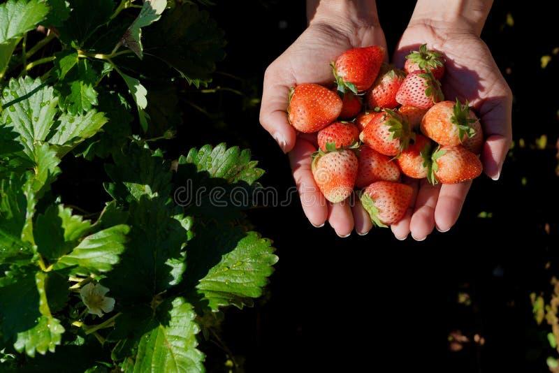 Χέρια με τις φρέσκες φράουλες που συλλέγονται στον κήπο στοκ φωτογραφία με δικαίωμα ελεύθερης χρήσης