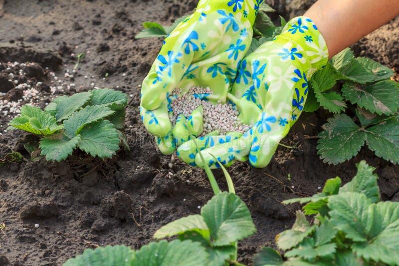 Χέρια της Farmer που δίνουν το χημικό λίπασμα στις νέες φράουλες PL στοκ φωτογραφία με δικαίωμα ελεύθερης χρήσης