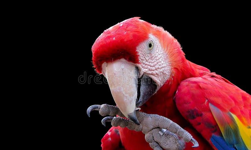 Χέρι δαγκώματος Macaw στοκ εικόνα