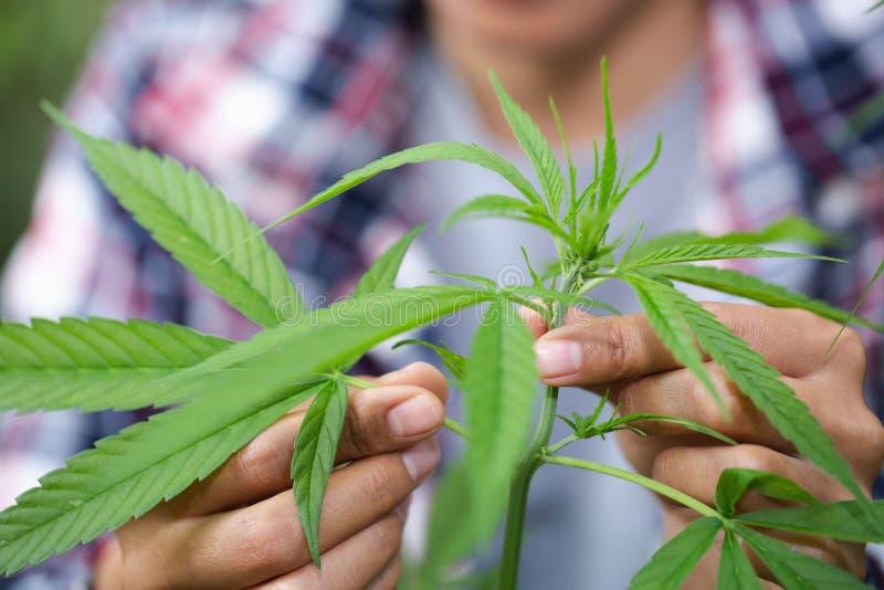 Χέρι γυναίκας που κρατά ένα νέο φύλλο μαριχουάνα καννάβεων ανάπτυξης μέσα σε ένα θερμοκήπιο στοκ φωτογραφίες