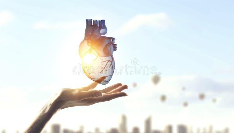 Χέρι γυναίκας που παρουσιάζει ανατομικό πρότυπο καρδιών r στοκ φωτογραφίες