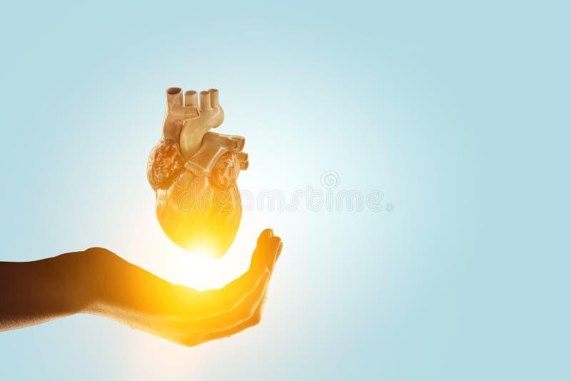Χέρι γυναίκας που παρουσιάζει ανατομικό πρότυπο καρδιών r στοκ εικόνα με δικαίωμα ελεύθερης χρήσης