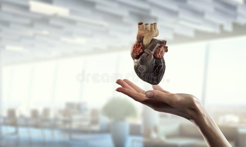 Χέρι γυναικών s που παρουσιάζει ανατομικό πρότυπο καρδιών Μικτά μέσα στοκ εικόνα με δικαίωμα ελεύθερης χρήσης