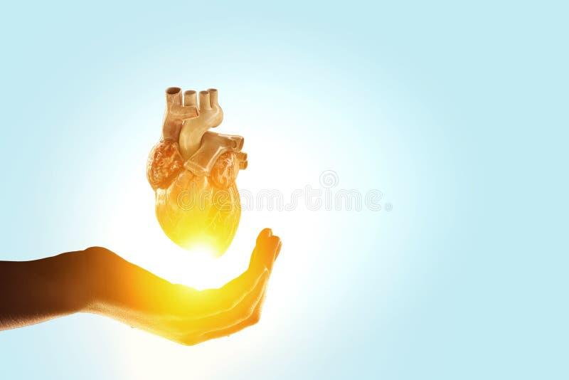 Χέρι γυναικών s που παρουσιάζει ανατομικό πρότυπο καρδιών r στοκ εικόνες με δικαίωμα ελεύθερης χρήσης