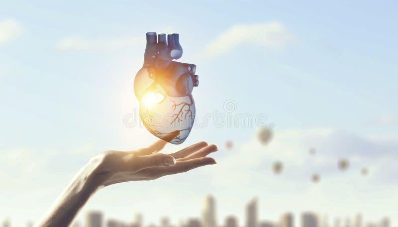 Χέρι γυναικών s που παρουσιάζει ανατομικό πρότυπο καρδιών r στοκ φωτογραφία με δικαίωμα ελεύθερης χρήσης