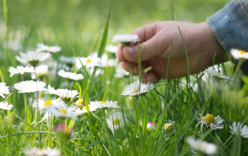 Χέρι ενός μικρού κοριτσιού, που επιλέγει ένα λουλούδι μαργαριτών στοκ φωτογραφίες